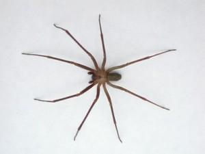 scottsdale spider