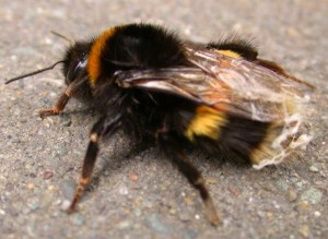 scottsdale bee